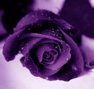 ljubičasta ruža