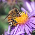 Pčele broje i govore strane jezike