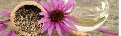 Ehinacea je prirodni antibiotik