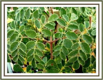 Moringa - čudotvorno stablo