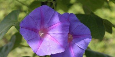 Slak cvijet ali slak i kao ljekovita biljka