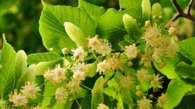 Lipa - drvo ljubavi umiruje i štiti od prehlade