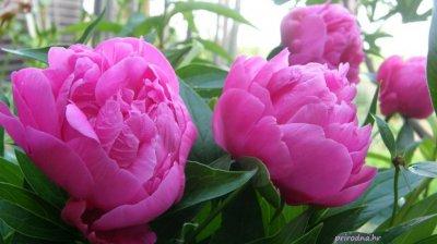 Macerat ruže i božura
