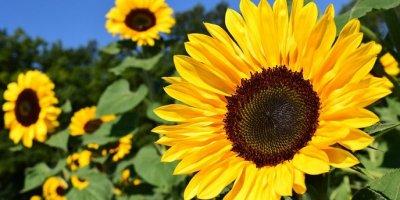 Mini suncokret: Kako posaditi suncokret u tegli?
