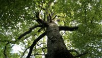 Kult stabla u starih slavena (Lipa čuva od zla i uroka)