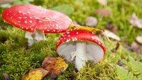 Što je dobro znati o otrovanju gljivama