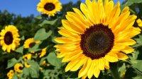 Suncokret blagoslovljeni cvijet, kao namirnica i kao lijek
